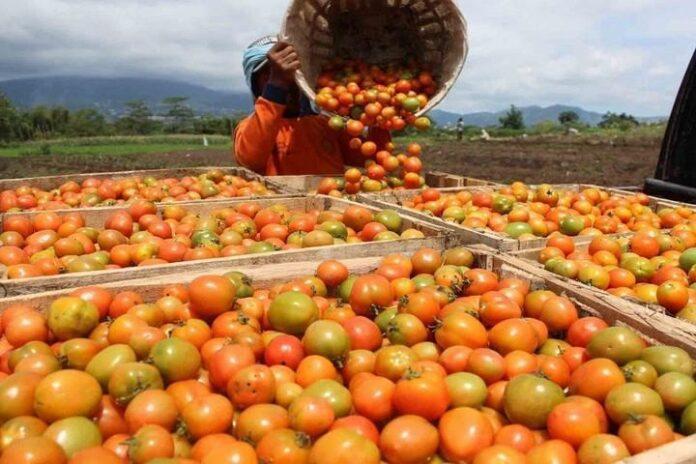 Petani usai memanen tomat