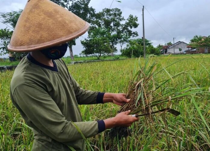 Batang padi yang busuk karena tergenang banjir