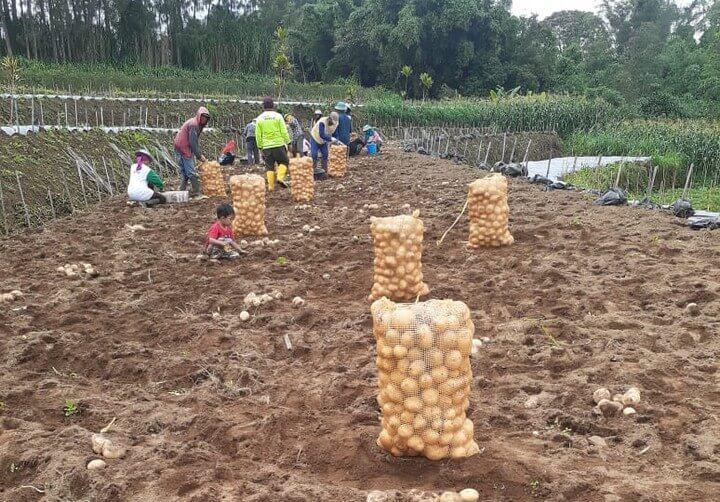 Panen kentang
