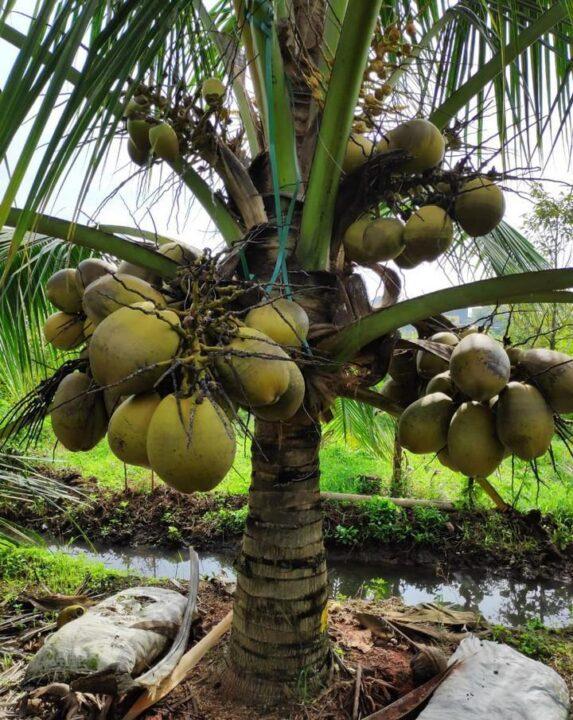 Kelapa kopyor hasil inovasi Prof Sisunandar