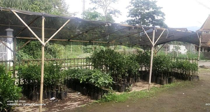 Bibit tanaman avokad Sindangreret