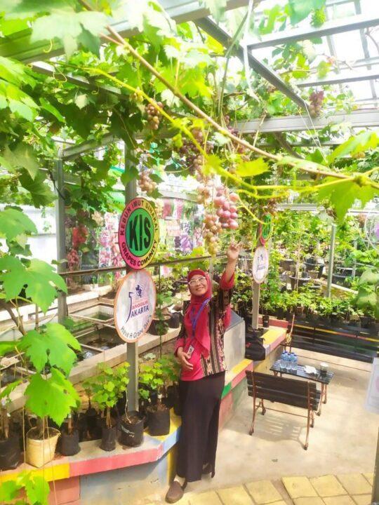 Koleksi tanaman anggur Scarlet Royal