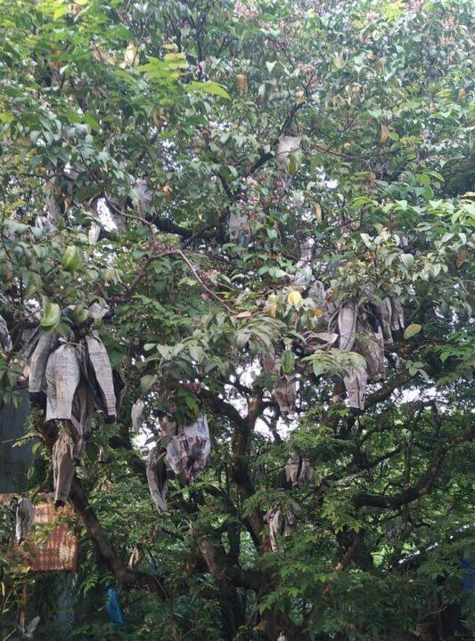 Pohon Belimbing Nanang Yusup