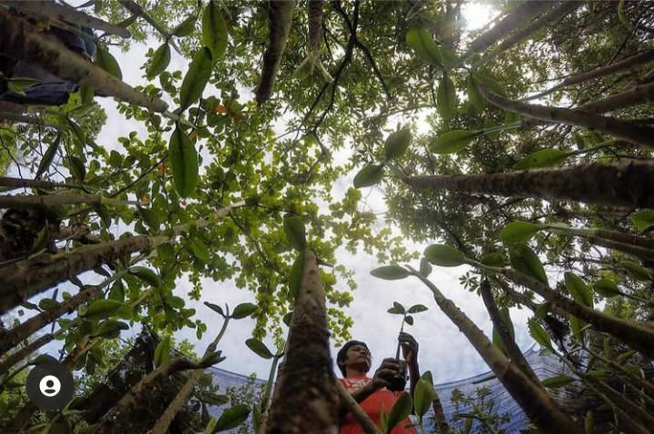 Koleksi bibit mangrove