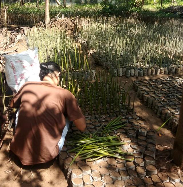 Lokasi pembibitan mangrove