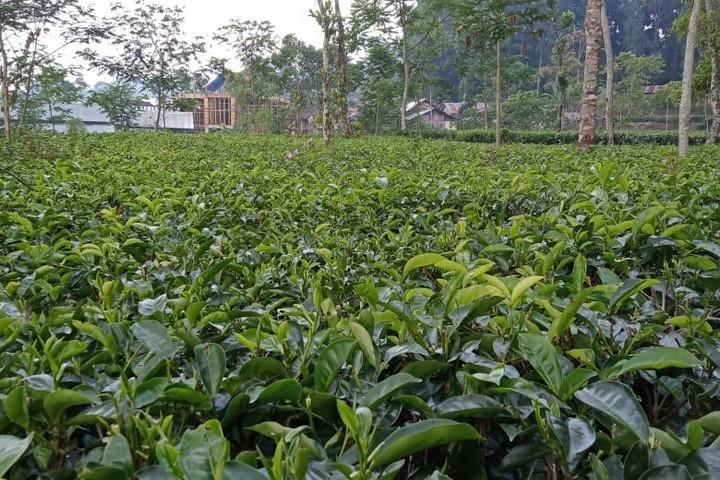 Tanaman teh organik Kasmoeri